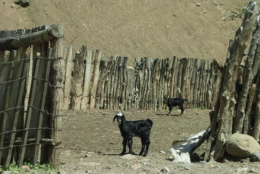 baja-goats