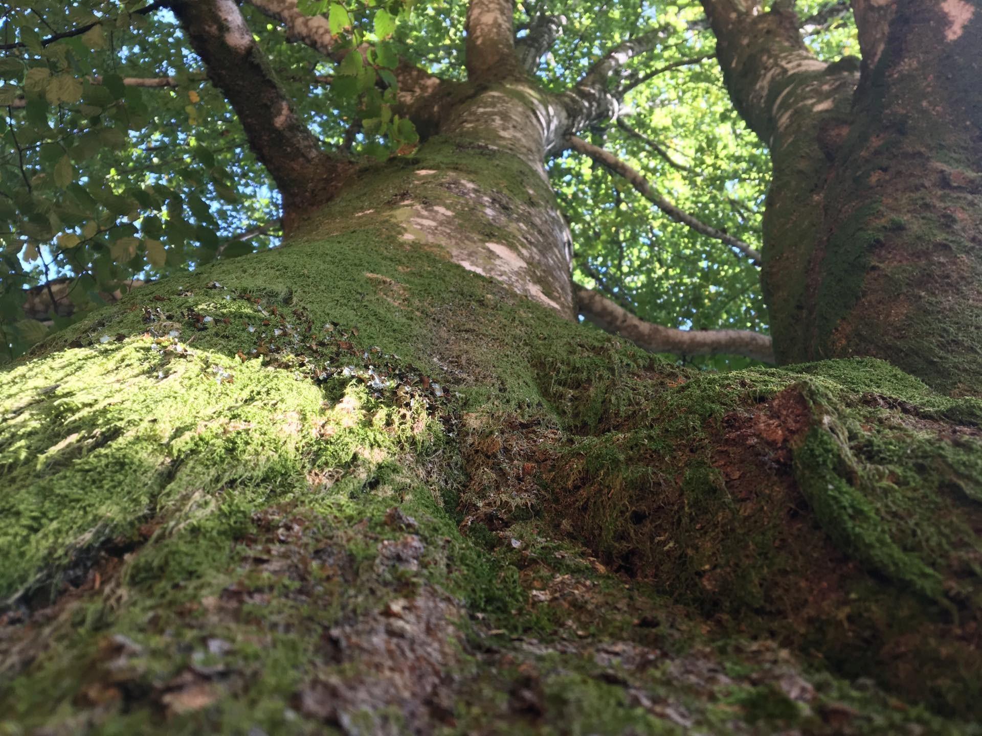 Trees Vosges